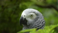 close up of the head of an african grey parrot at bali bird park on the island of bali, indonesia