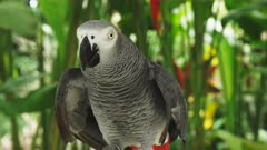 closeup front view of a tame african grey parrot at bali bird park on the island of bali, indonesia