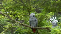 wide shot of two african grey parrots at bali bird park on the island of bali, indonesia