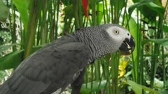 close up profile shot of an african grey parrot at bali bird park on the island of bali, indonesia