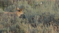 rear view of a coyote eating in the lamar valley of yellowstone national park, usa