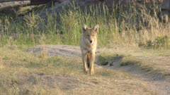 front view of a coyote standing in the lamar valley of yellowstone national park, usa