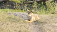 a late afternoon shot of a coyote sitting in the lamar valley of yellowstone national park, usa