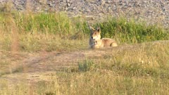 a coyote looks intently at something in the lamar valley of yellowstone national park, usa