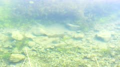 a cutthroat trout swimming around the edge of trout lake in yellowstone national park, usa