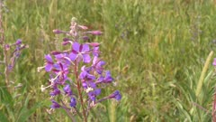 close up of fireweed growing at trout lake in yellowstone national park, usa