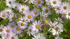 close up of fleabane flowers at trout lake in yellowstone national park, usa