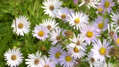 close up pan of fleabane flowers at trout lake in yellowstone national park, usa