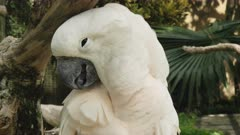 close up of a moluccan cockatoo preening at bali bird park on the island of bali, indonesia