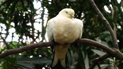 pied imperial pigeon at bali bird park on the island of bali, indonesia