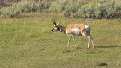 wide shot of a pronghorn antelope in yellowstone national park, usa