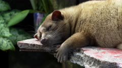 close up of a sleeping luwak in a coffee shop at tanah lot temple, bali