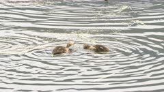 two american wigeon ducklings on the madison river in yellowstone national park, usa
