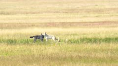 mid summer shot of two wolves feeding on an elk carcass in yellowstone national park, usa