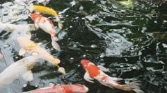 close shot of koi fish in pond at wat pho temple of bangkok, thailand