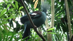 western crowned pigeon perched in a tree at bali bird park on the island of bali, indonesia