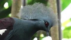 close up of a western crowned pigeon perched in a tree at bali bird park on the island of bali, indonesia