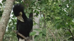 wreathed hornbill preening its feathers at bali bird park on the island of bali, indonesia