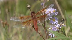 close up of a flame skimmer dragonfly in yellowstone national park, usa