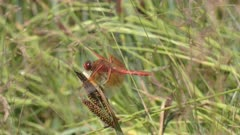 profile shot of a flame skimmer dragonfly perched on a plant stalk in yellowstone national park, usa