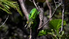 a wide shot of a jackson's chameleon in a tree facing down on the big island of hawaii in the united states of america