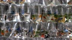 tropical fish in plastic bags at mongkok markets in hong kong, china
