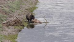 a grizzly bear pulls on an elk carcass in the yellowstone river at the hayden valley of yellowstone national park, usa