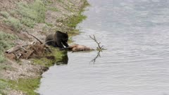 a grizzly bear eats a dead elk in the hayden valley of yellowstonenational park, usa
