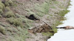 a grizzly bear lies on its back beside an elk carcass in hayden valley of yellowstone national park, usa