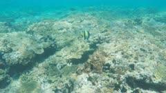 a moorish idol swimming on the great barrier reef at heron island in queensland, australia