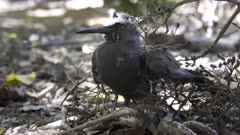 a white capped noddy on the ground tangled in pisonia seed burrs at heron island on the great barrier reef of queensland, australia