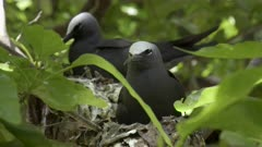 close up of a white capped noddy on a nest at heron island on the great barrier reef of queensland, australia