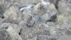 a rear view of a pika on mt washburn in yellowstone national park, usa
