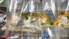 a close up shot of plastic bags containing tropical fish at fa yuen markets in hong kong, china