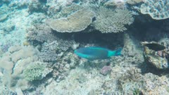 a sixband parrotfish on the great barrier reef at heron island in queensland, australia