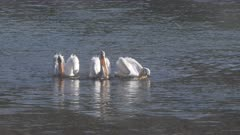 4K 60p clip of american white pelicans feeding in the morning at yellowstone national park, usa