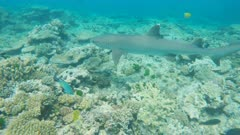 a close up of a white tipped reef shark on the great barrier reef at heron island, australia