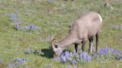a high angle shot of a bighorn sheep grazing on mt washburn in yellowstone national park, usa