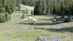 a wide view of a bighorn sheep flock grazing on mt washburn in yellowstone national park, usa