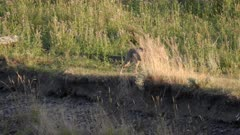 a tracking shot of a coyote approaching a bison carcass in the lamar valley of yellowstone national park, usa