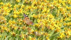 a painted lady butterfly on yellow flowers at mt washburn in yellowstone national park, usa