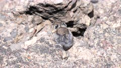 a pika shakes its head while sitting on a rock- recorded at mt washburn in yellowstone national park, usa