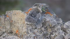 4K 60p rear view of a pika with fresh grass in its mouth on mt washburn in yellowstone national park, usa