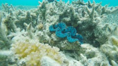 a tridacna clam on the great barrier reef at heron island, australia