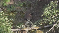 a 60p clip of a beaver hauling a branch to the lamar river of yellowstone national park, usa