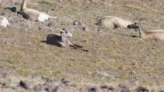 a 60p clip of bighorn sheep resting in summer heat on mt washburn in yellowstone national park, usa