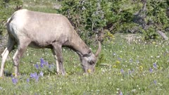 a bighorn sheep among lupine wildflowers on mt washburn in yellowstone national park, usa