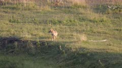a tracking shot of a coyote in the lamar valley of yellowstone national park, usa