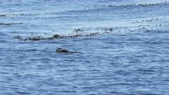 a long shot of a southern sea otter eating a crab at monterey bay, california