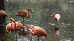 4K 60p close up of an american flamingo flock standing in a pond in florida